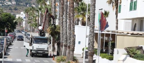 Empieza en La Herradura la campaña de limpieza de palmeras