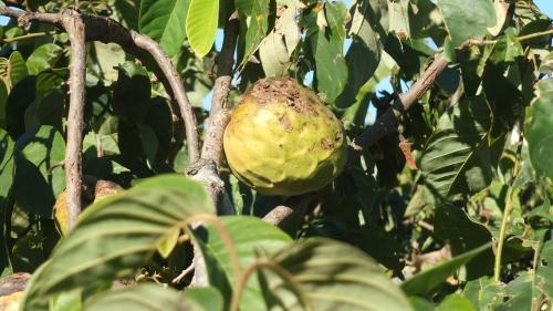Daños causados en la fruta por el granizo caído a finales del pasado mes de agosto