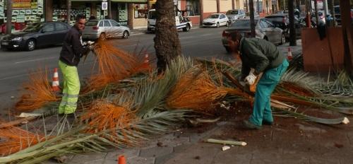 El Ayuntamiento de Almuñécar ultima los trabajos de limpieza de las palmeras