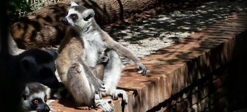 """Lemur colianillado nacido en el """"Loro Sexi"""""""