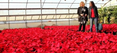 La concejalía de Parques, Jardines y Agricultura plantará 7.500 pascueros para dar color a calles y plazas durante las fiestas de Navidad