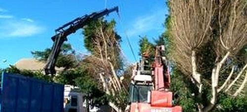 La concejalía de Parques y Jardines inicia una campaña de poda de palmeras y arbolado