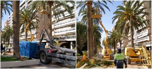 Comienzan las labores de poda y limpieza de las palmeras del Paseo de las Explanadas