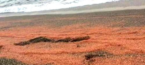 El ayto. aconseja no consumir las gambas aparecidas en las playas de la Villa