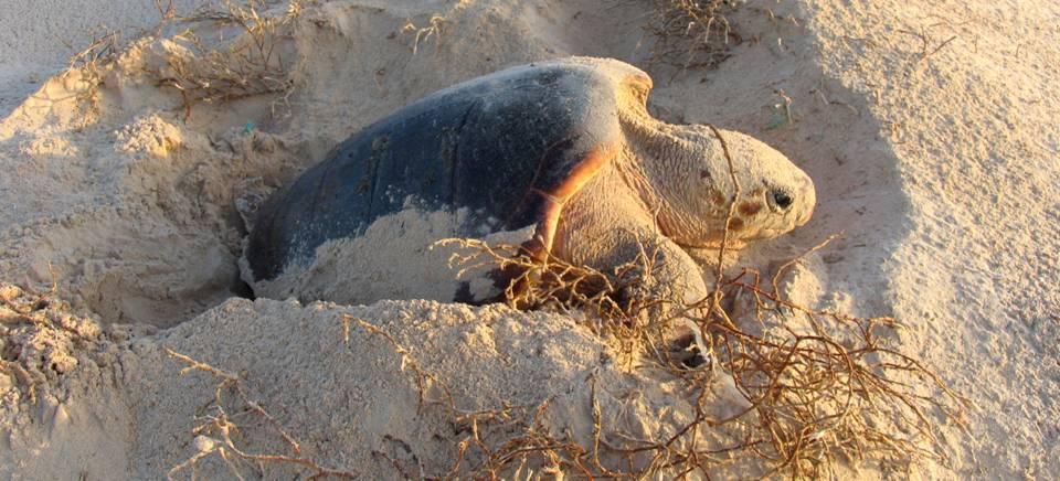 Medio Ambiente y CSIC entregan al Acuario de Almuñécar una pareja de tortugas bobas