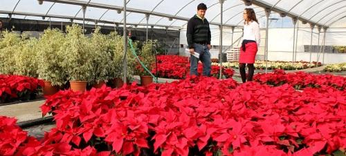 parques-y-jardines-planta-mas-de-7-000-pascueros-para-adornar-las-calles-y-plazas-de-motril-en-navidad