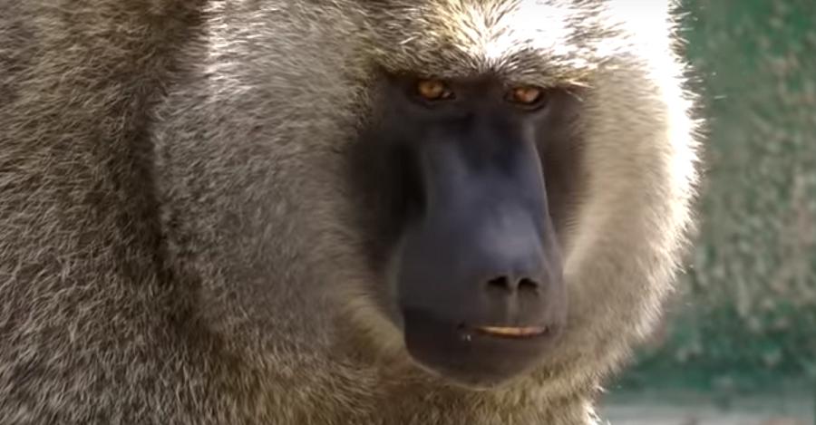 Macaco en el parque zoológico de Peña Escrita