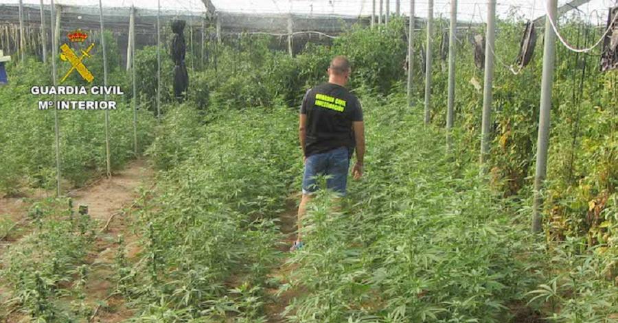 La Guardia Civil interviene 1920 plantas de cannabis sativa en Molvízar