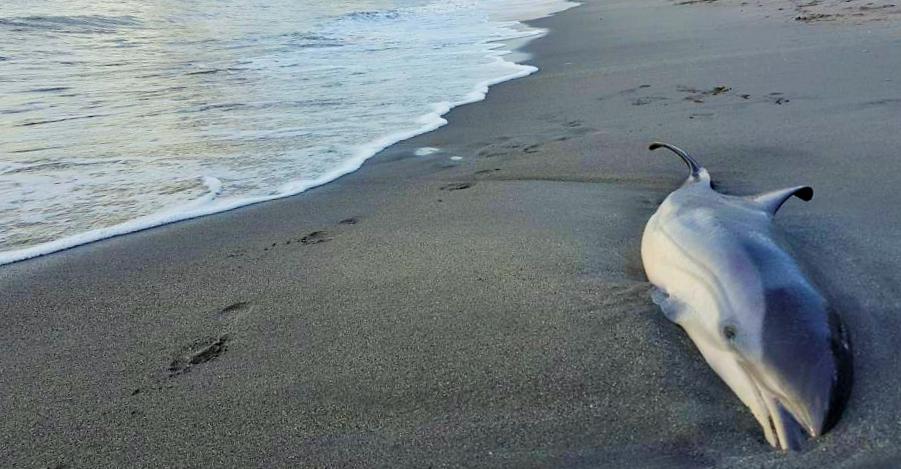 Hallan otro delfín muerto en una playa de Almuñécar