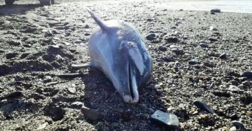 Delfín muerto en la playa de La Herradura (Almuñécar)