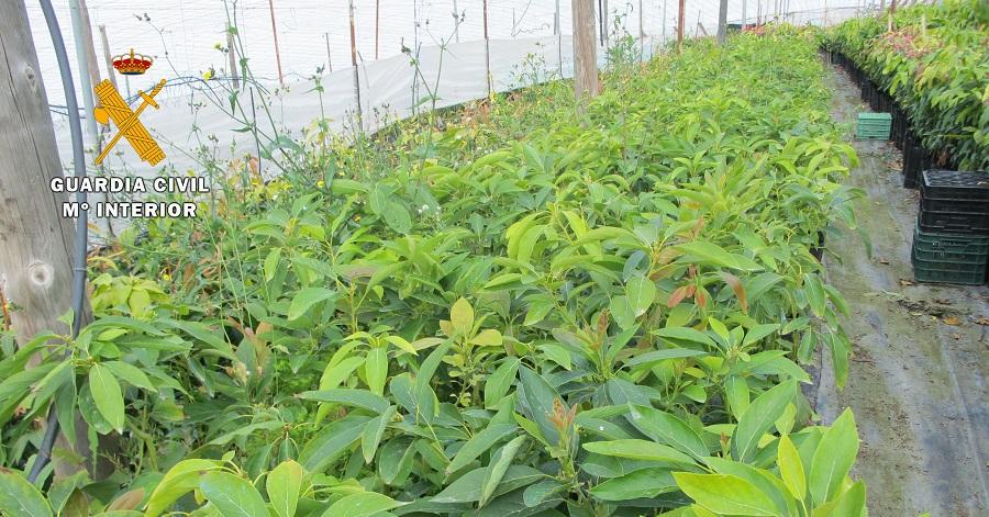 El Seprona investiga a los propietarios de un vivero por vender plantones de aguacates de una variedad protegida