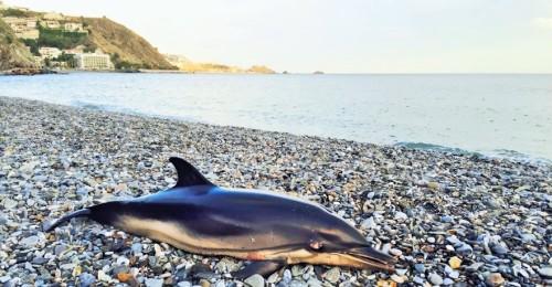 Otro delfín muerto en una playa de Almuñécar, la playa de Cotobro