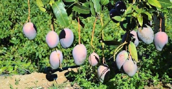 Cultivo de mangos