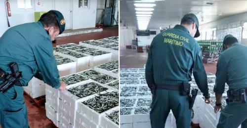 SEPRONA y SEMAR de la Guardia Civil de Motril interviene más de 2600 kilos de boquerón inmaduro en la lonja