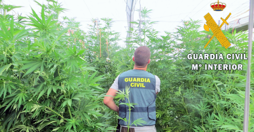 Guardia Civil incautación plantas marihuana.png