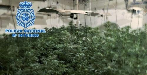 La Policía Nacional desmantela tres plantaciones de marihuana a gran escala y detiene a los responsables