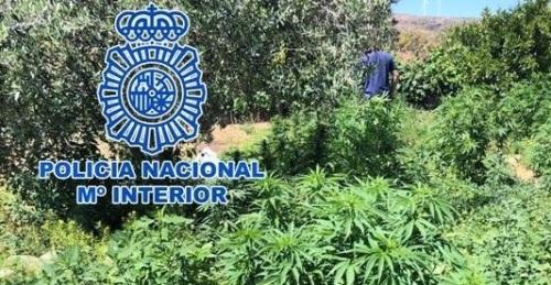 La Policía Nacional desmantela tres plantaciones de marihuana a gran escala y detiene a los responsables.jpg